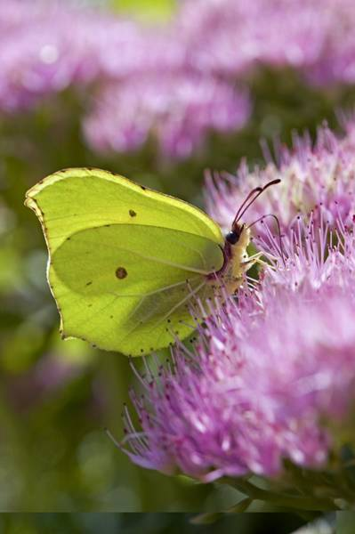 Brimstone Photograph - Brimstone Butterfly by Science Photo Library