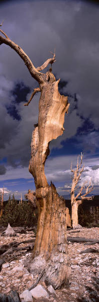 Inyo Mountains Photograph - Bristlecone Pine Trees Pinus Longaeva by Panoramic Images