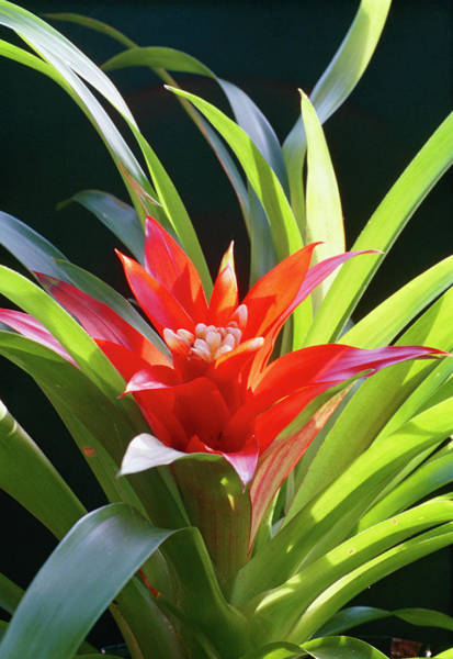 Bromelia Photograph - Bromelia Flower by G Newport/science Photo Library