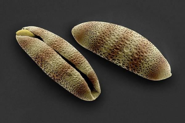 Bromelia Photograph - Bromelia Pollen Grains by Martin Oeggerli/science Photo Library