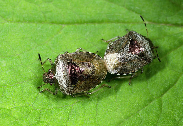 Bronze Leaf Wall Art - Photograph - Bronze Shieldbugs Mating by Nigel Downer