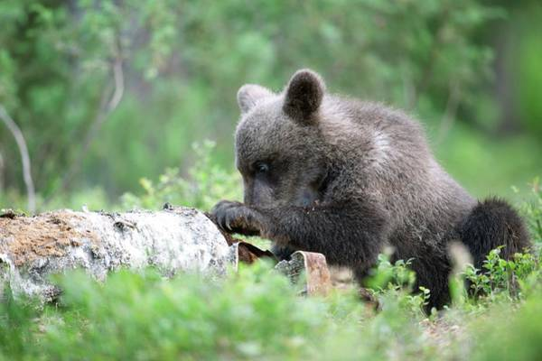 Finnish Photograph - Brown Bear Cub by Dr P. Marazzi/science Photo Library