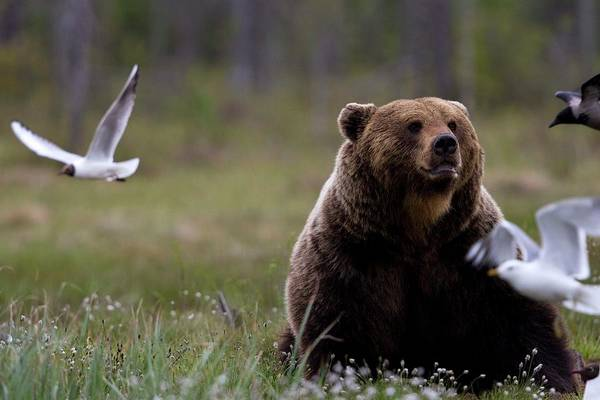 Chroicocephalus Ridibundus Photograph - Brown Bear Sitting Up In A Grass Field by Raffi Maghdessian
