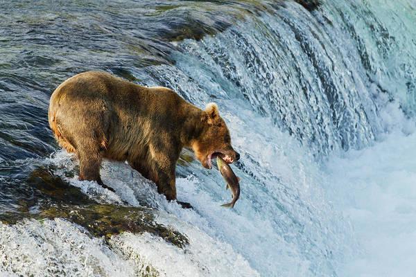 Wall Art - Photograph - Brown Bear  Ursus Arctos by Gary Schultz