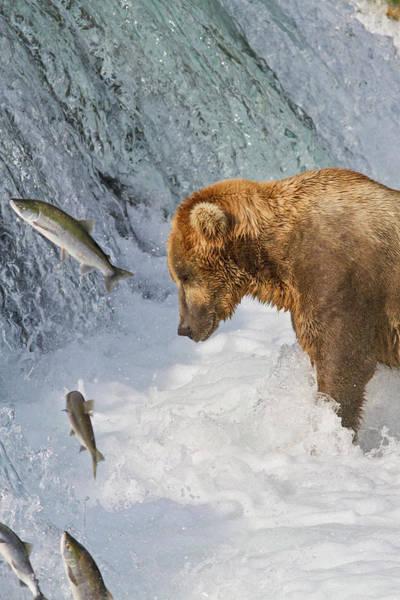 Wall Art - Photograph - Brown Bear  Ursus Arctos  Standing by Gary Schultz