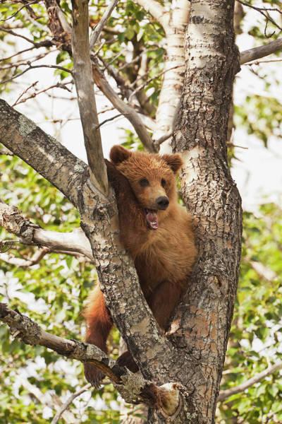 Wall Art - Photograph - Brown Bear  Ursus Arctos  Yearling Cub by Gary Schultz