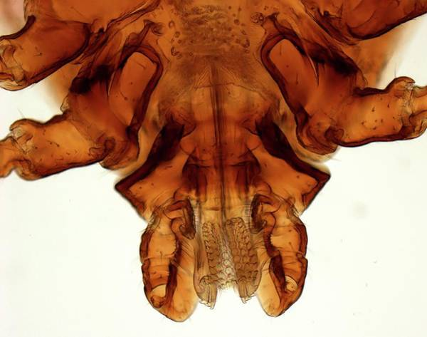 Arachnida Wall Art - Photograph - Brown Dog Tick Mouthparts by Steve Gschmeissner/science Photo Library