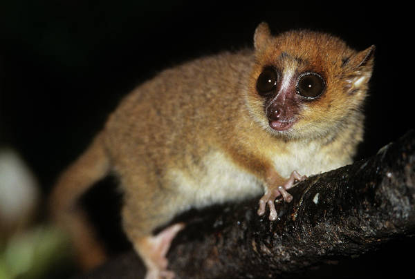 Lemur Photograph - Brown Mouse Lemur (microcebus Rufus) by Sinclair Stammers/science Photo Library