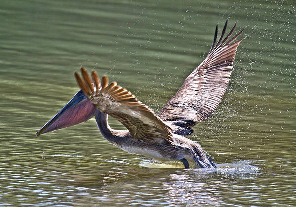 Brown Pelicans Photograph - Brown Pelican by Betsy Knapp