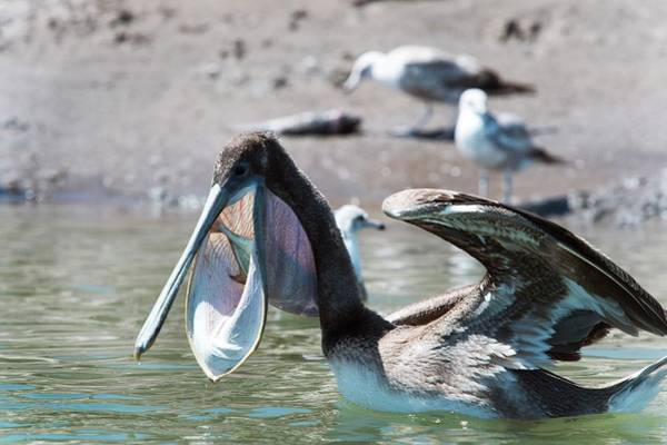 California Brown Pelican Photograph - Brown Pelican Eating A Fish by Christopher Swann/science Photo Library