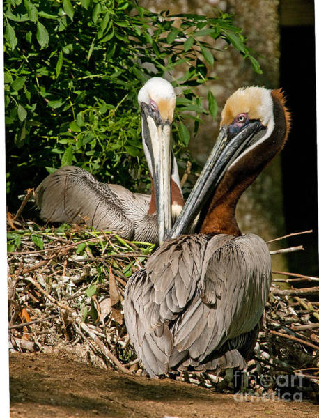 Duval County Photograph - Brown Pelican by Millard H. Sharp