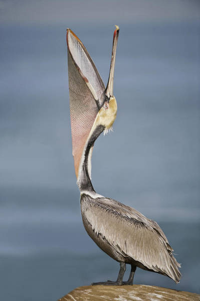 Wall Art - Photograph - Brown Pelican Pelecanus Occidentalis by Animal Images