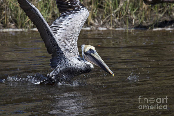 Pelican Wall Art - Photograph - Brown Pelican by Twenty Two North Photography