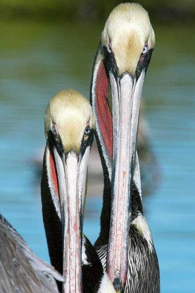 California Brown Pelican Photograph - Brown Pelicans by Christopher Swann/science Photo Library
