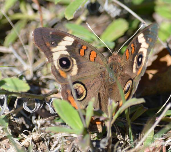 Sulfur Butterfly Wall Art - Photograph - Buckeye Butterfly  by Ruth  Housley
