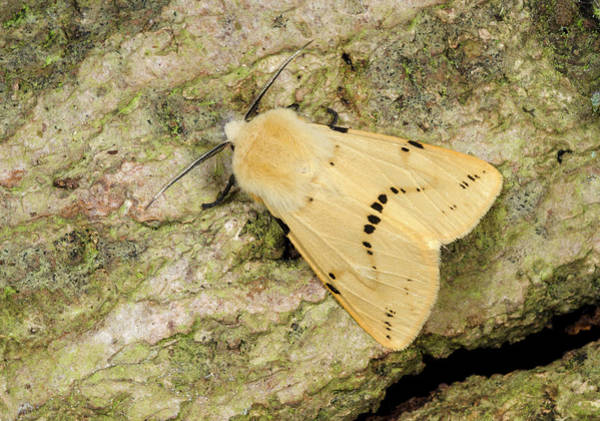 Entomological Photograph - Buff Ermine Moth by Nigel Downer