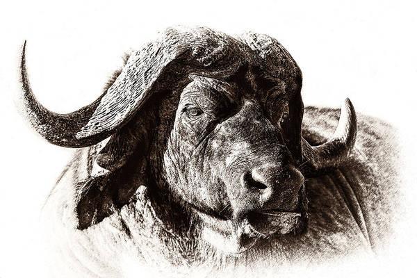 Rhinocerus Photograph - Buffalo Sketch by Mike Gaudaur
