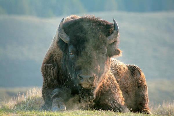 Photograph - Bull Bison by D Robert Franz