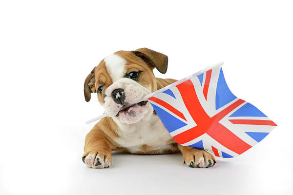 Wall Art - Painting - Bulldog Puppy Union Jack by MGL Meiklejohn Graphics Licensing