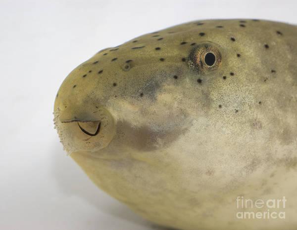 Photograph - Bullfrog Tadpole by Dan Suzio