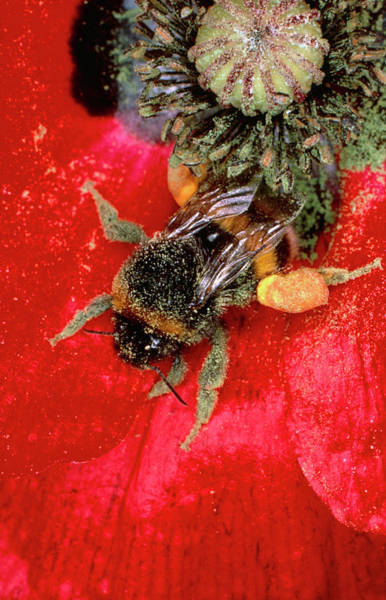 Pollination Photograph - Bumblebee Gathering Pollen From Poppy by Dr Jeremy Burgess/science Photo Library