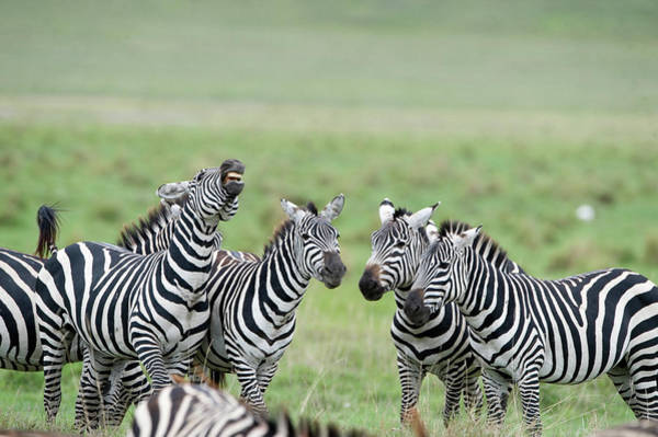 Battle Field Photograph - Burchells Zebras Equus Burchelli by Animal Images