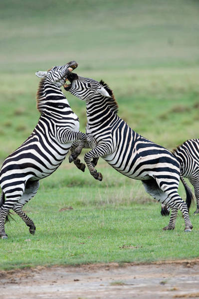 Battle Field Photograph - Burchells Zebras Equus Burchelli by Panoramic Images