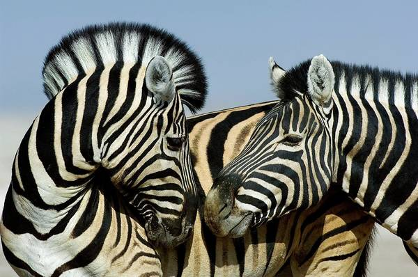 Wall Art - Photograph - Burchell's Zebras by Tony Camacho/science Photo Library
