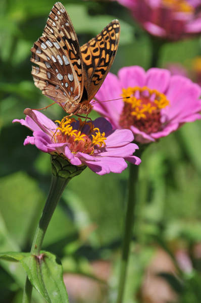 Wall Art - Photograph - Butterfly And Zinnia Mix by Bonnie Sue Rauch