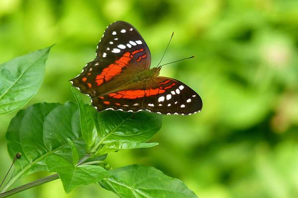Coolie Photograph - Ecuador Coolie Butterfly by David Hohmann
