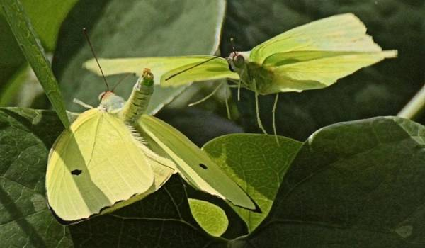 Photograph - Butterfly Love by Dart and Suze Humeston