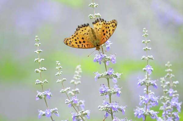 Insect Photograph - Butterfly by Myu-myu