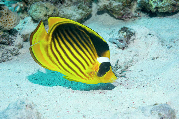 Raccoon Photograph - Butterflyfish by Georgette Douwma