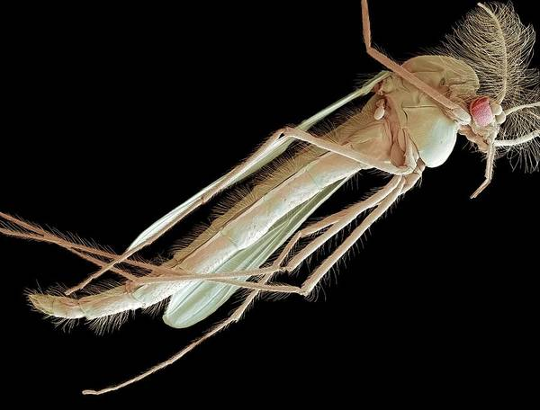 Midge Photograph - Buzzer Midge by Steve Gschmeissner/science Photo Library