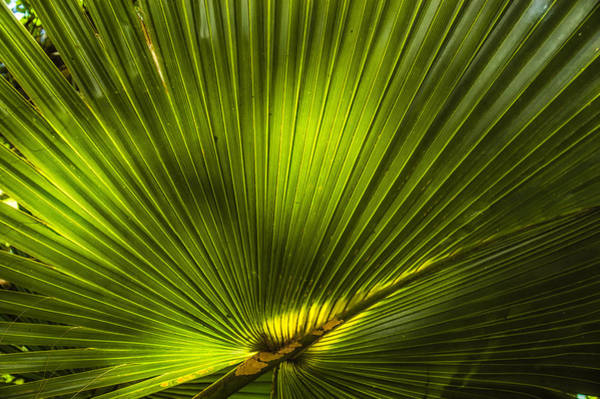 Wall Art - Photograph - Cabbage Palm by Rich Leighton