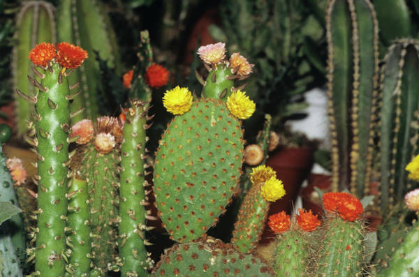 Horticulture Photograph - Cacti In Flower by M F Merlet/science Photo Library