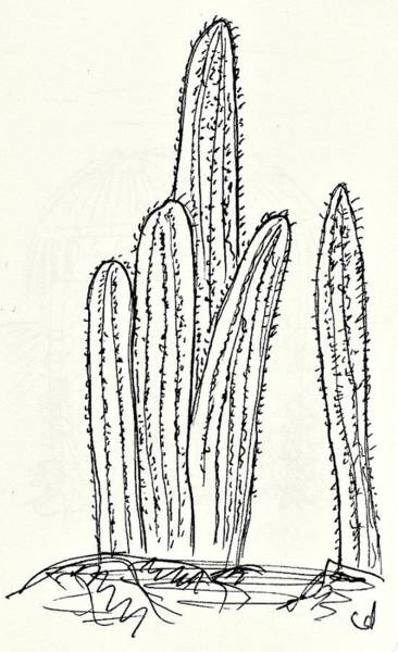 Drawing - Cacti In The Parque De La Paloma In Benalmadena by Chani Demuijlder