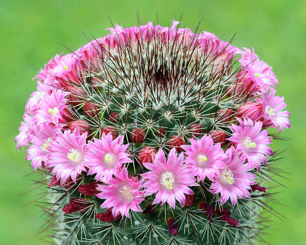 Cactaceae Photograph - Cactus Mammillaria Zeilmanniana 'new Dawn' by Nigel Downer/science Photo Library