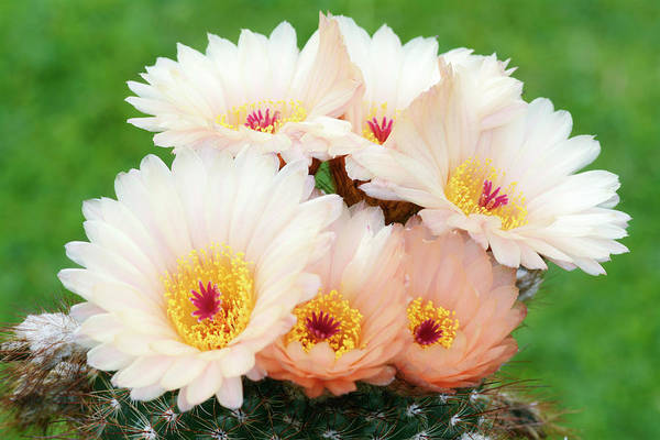 Cactaceae Photograph - Cactus Notocactus Tabularis by Nigel Downer/science Photo Library