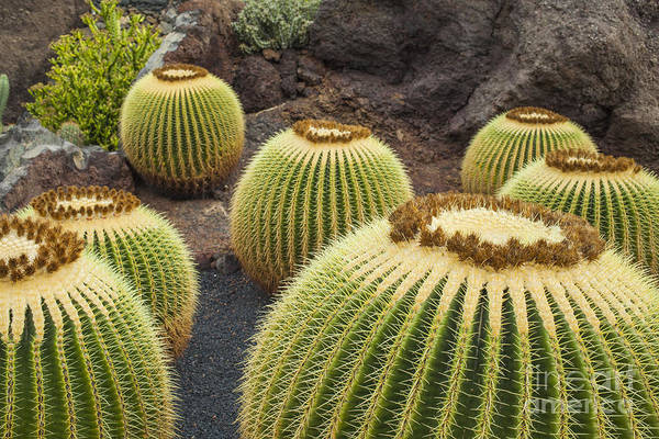 Wall Art - Photograph - Cactus Plants On Lanzarote by Patricia Hofmeester
