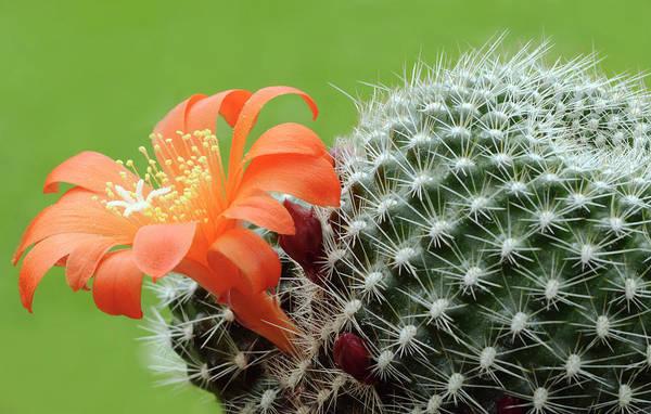 Wall Art - Photograph - Cactus Rebutia Flavistyla by Nigel Downer/science Photo Library