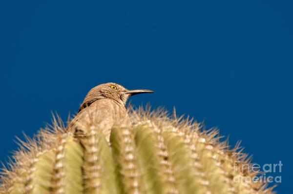 Cactus Wren Wall Art - Photograph - Cactus Wren by Mark Newman
