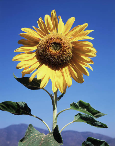 Backcountry Photograph - California, A Mammoth Sunflower by Christopher Talbot Frank
