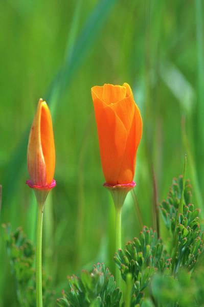 California Poppy Photograph - California Golden Poppies In A Green by John Alves