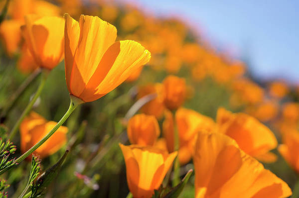 Northern California Photograph - California Poppies, California Central by Rob Sheppard
