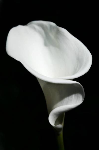 Calla Lillies Photograph - Calla Lilly by Cathie Tyler