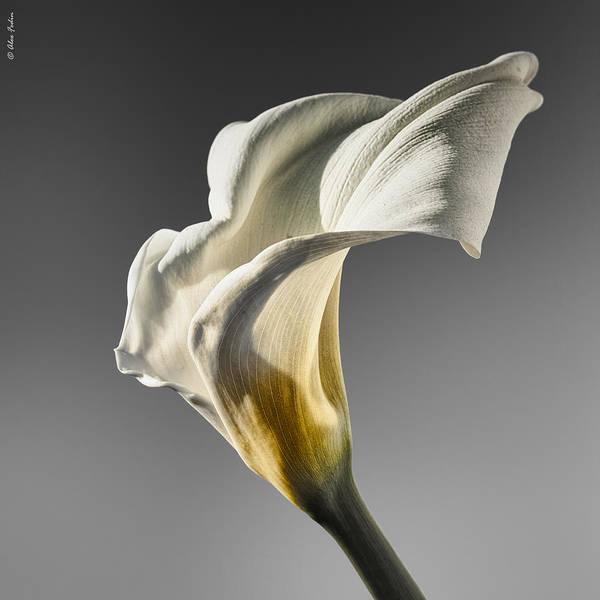 Photograph - Calla Lily by Alexander Fedin