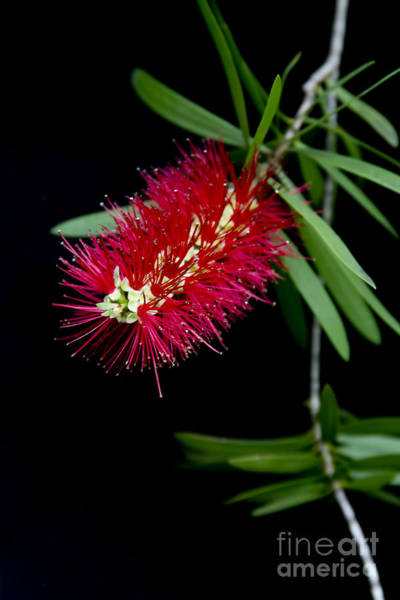 Photograph - Callistemon Citrinus - Crimson Bottlebrush Hawaii by Sharon Mau