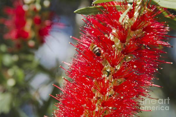 Photograph - Callistemon Citrinus - Crimson Bottlebrush by Sharon Mau