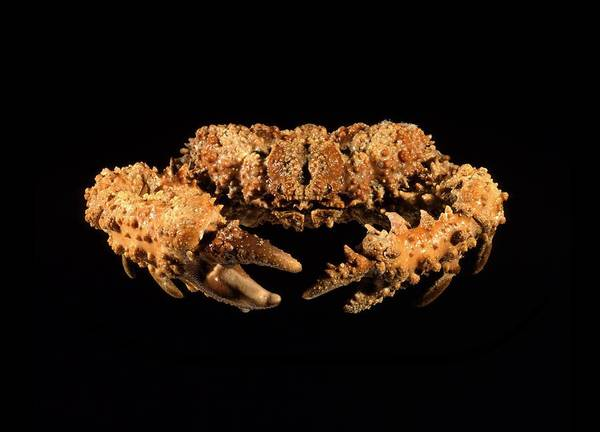 Chela Wall Art - Photograph - Calthrop Crab by Science Photo Library